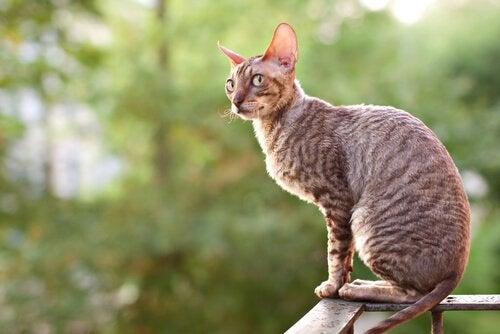 Un chat Cornish Rex sur une rambarde