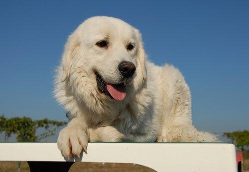 Un mastiff blanc près d'une barrière