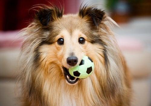 un chien avec une balle dans la bouche