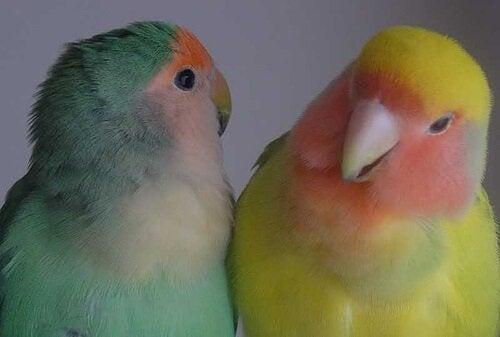 Des oiseaux comme animaux de compagnie : toujours les avoir en couple