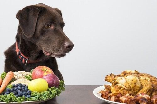 un labrador marron face à une assiette de fruits et légumes, se tourne vers une assiettes avec poulet et bacon