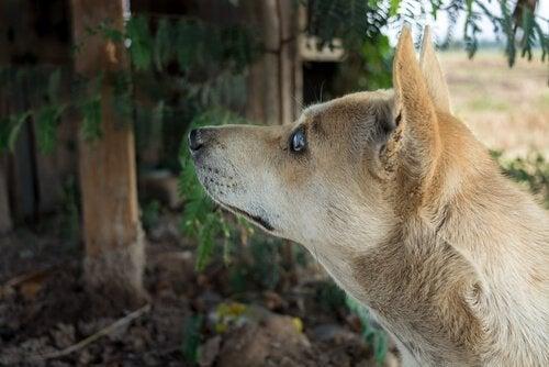 chien aveugle de profil