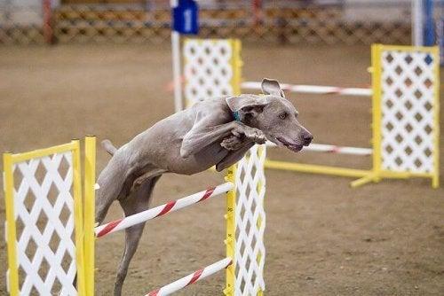 braque de weimar qui participe à un concours de sauts d'obstacles