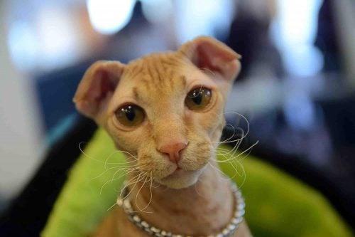 Le chat ukrainien Levkoy