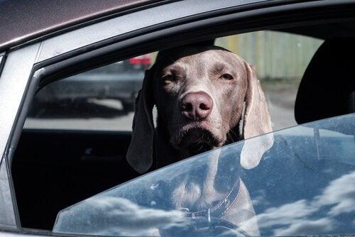 chien qui regarde par la fenêtre d'une voiture