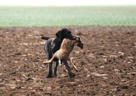 chien de chasse avec un lièvre dans la gueule