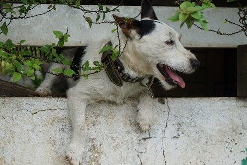 Un chien s'échappe de la maison par un trou dans le mur