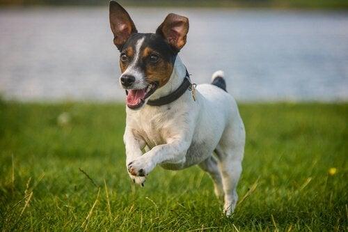 un petit chien court dans l'herbe