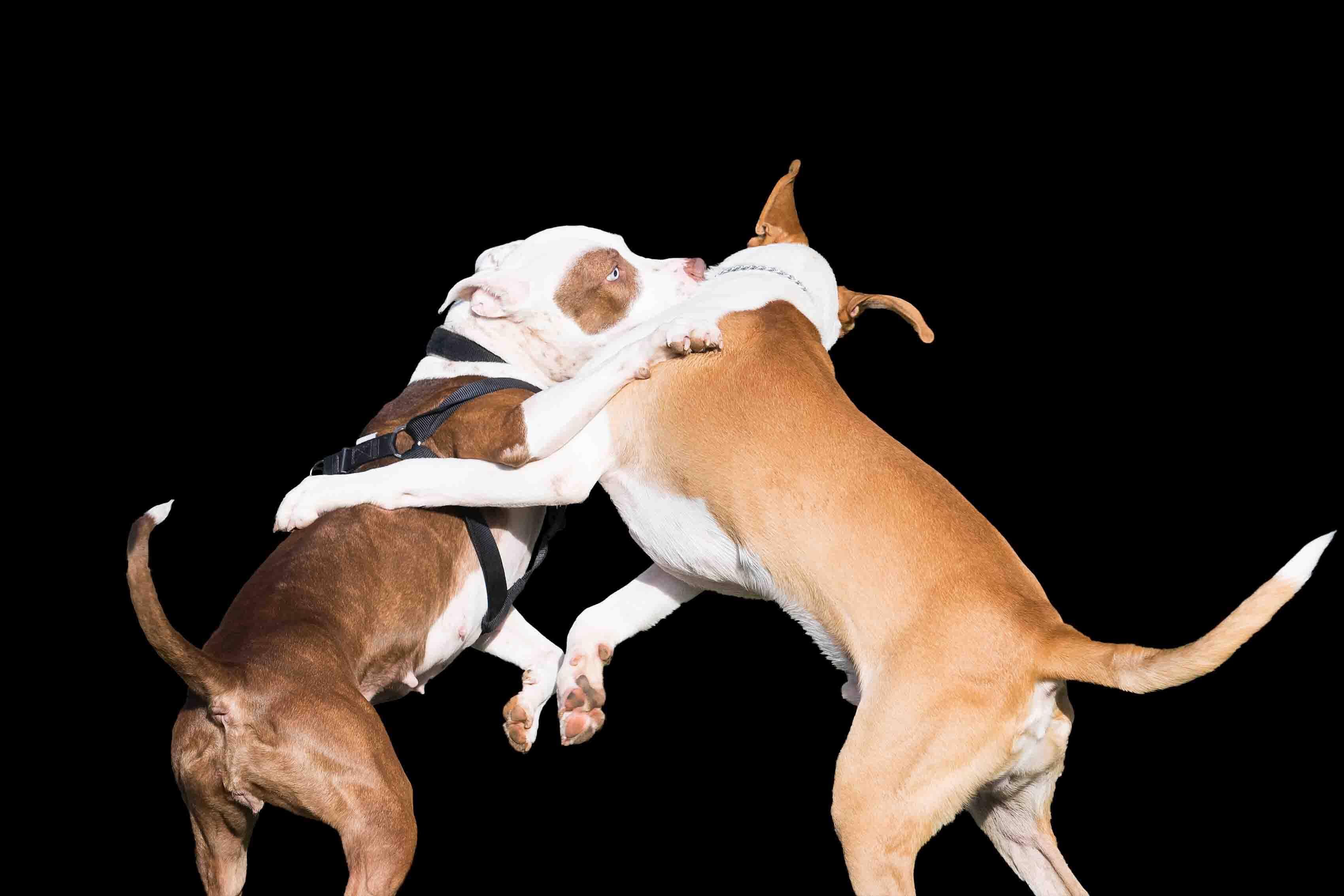 Deux chiens se battent sur fond noir