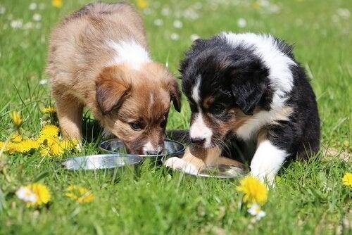 deux chiens mangent dans leur gamelle de croquettes