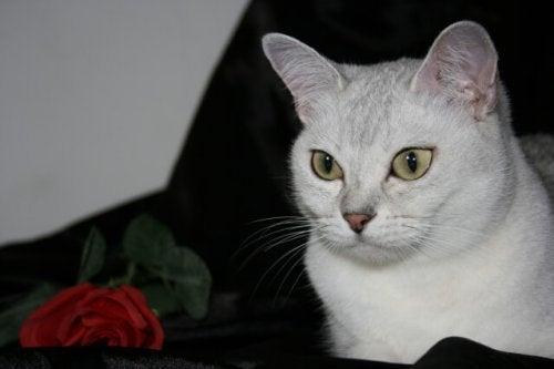 Connaissiez-vous le chat Burmilla ?