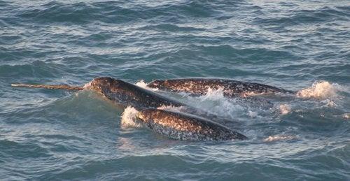 Le narval : la licorne des mers