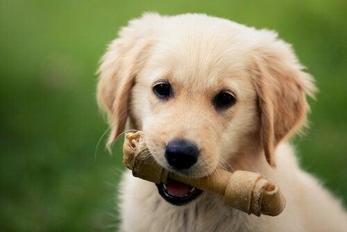 un jeune labrador avec un os à mâcher dans la bouche