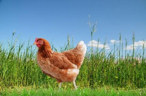 une poule dans un pré