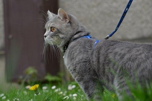 Chat promené en laisse dans un jardin