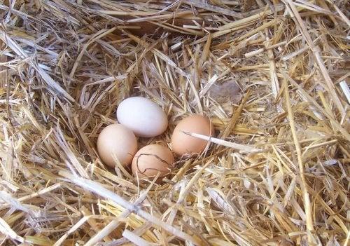 Améliorer la qualité des œufs de poules