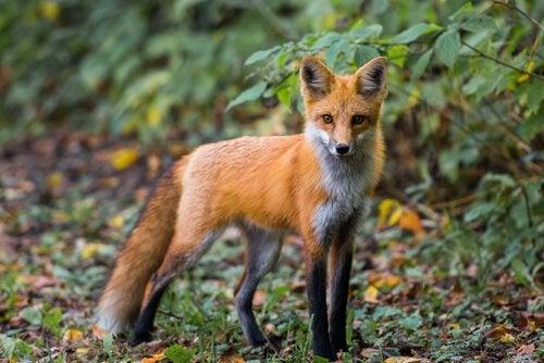 un renard commun dans la forêt