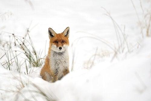 un renard roux dans la neige
