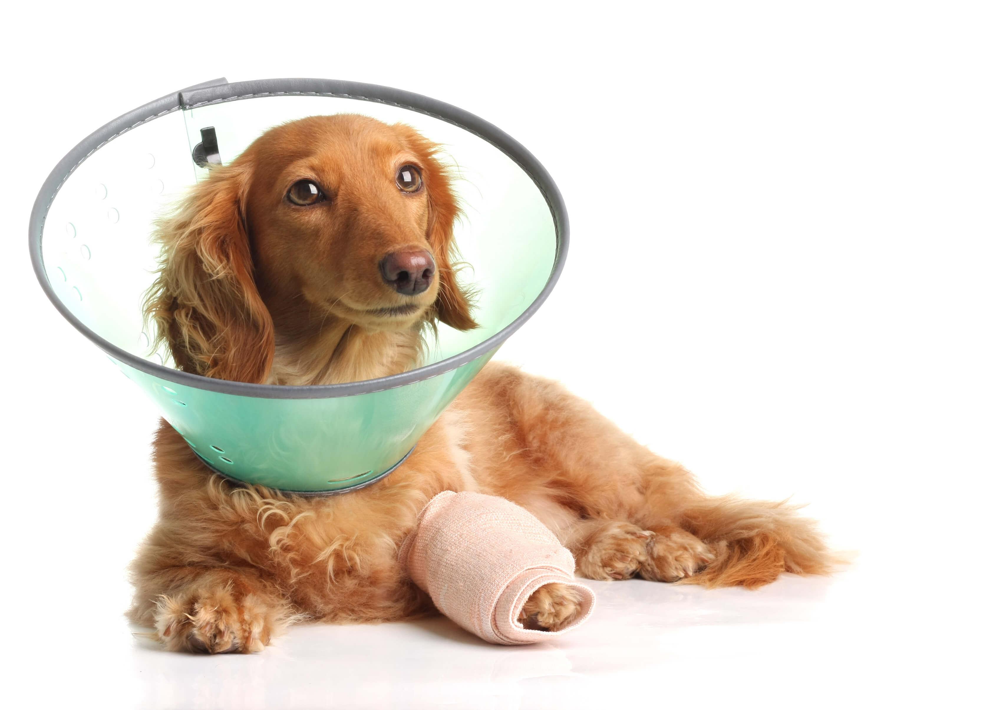 Un chien roux porte un collier et un bandage au niveau de sa patte avant gauche