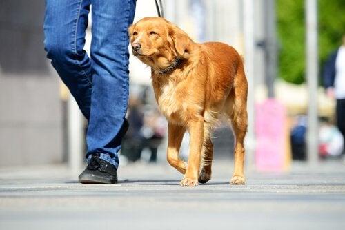 Un chien bien dressé marche à côté de son maître