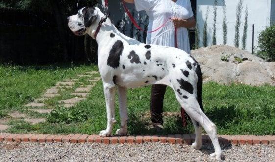 Un dogue argentin dans la rue