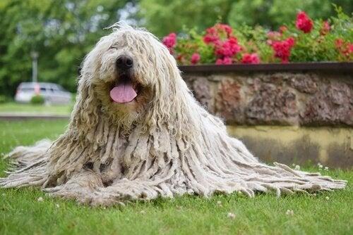 Le Komondor, une race de chien 'rasta'