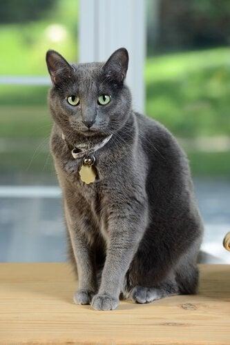 Un chat Korat avec un collier et une médaille autour du cou