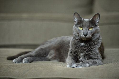Le chat Korat