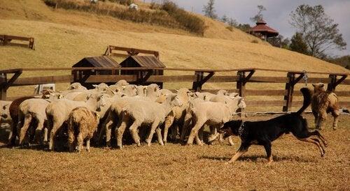 un chien de berger et son troupeau