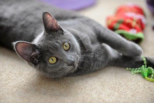 un chat korat allongé