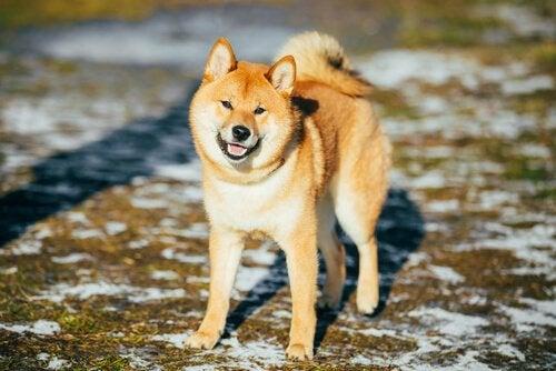 Akita inu sur un sol enneigé