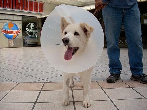 chien qui porte une collerette