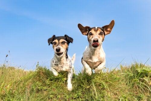 deux petits chiens qui courent dans l'herbe