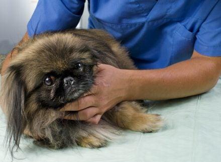 chien examiné par un vétérinaire