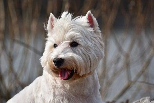 chien de terrier blanc