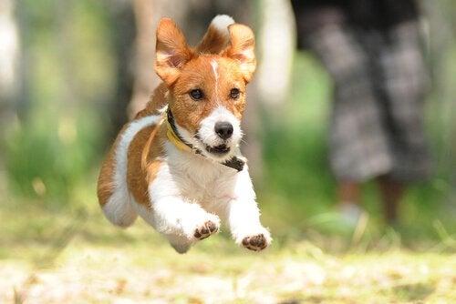 chien de terrier qui court