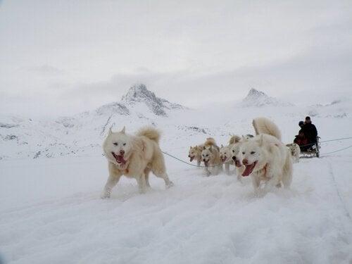 un groupe de chiens du Groenland tire un traineau dans la neige
