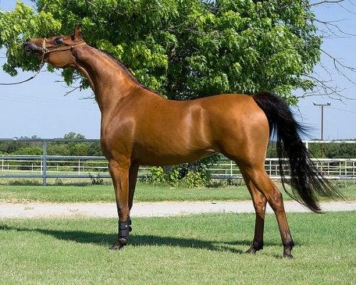 Un cheval arabe après le bain