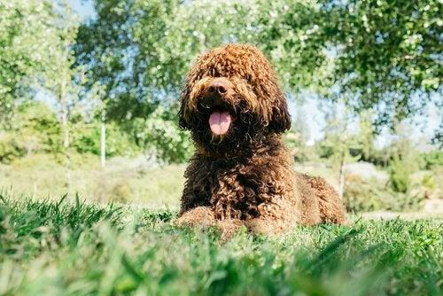 Une chien d'eau espagnol est couché dans un parc, la langue pendante
