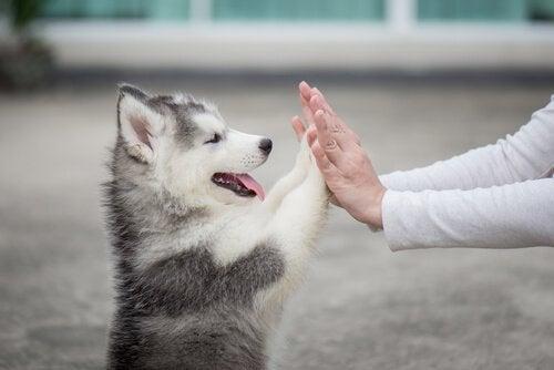 Une chiot husky pose ses pattes sur les mains de son maître