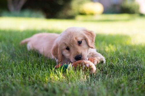 Un chiot est couché dans l'herbe et joue avec une peluche
