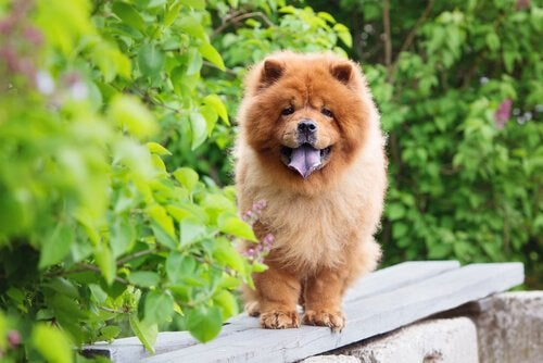 Chow-chow assis