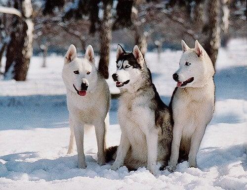Trois huskys sibériens dans la neige