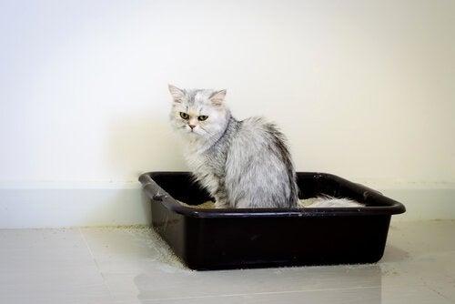 Chat qui fait ses besoins dans sa litière
