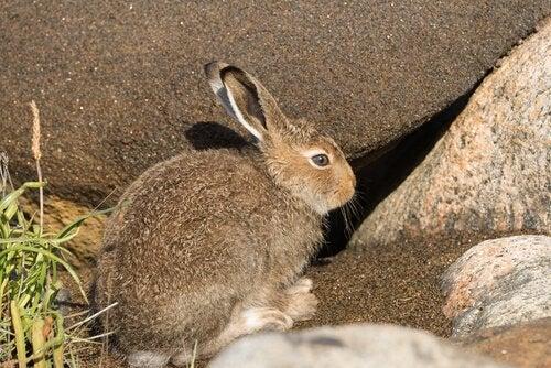 Le lièvre, une espèce menacée d'extinction