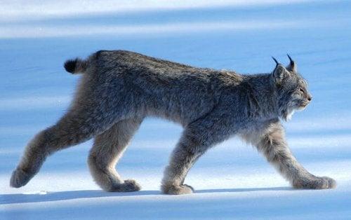 un lynx avec le pelage épais sur la glace