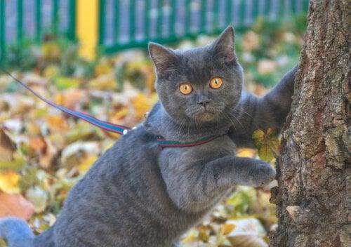 Un chat en promenade en laisse