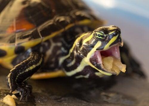 tortue avec de la nourriture dans la bouche