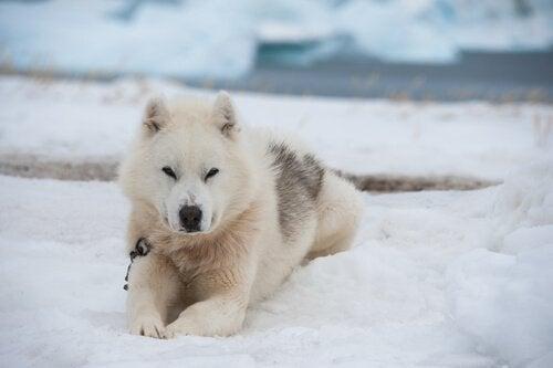 Chien du Groenland couché dans la neige