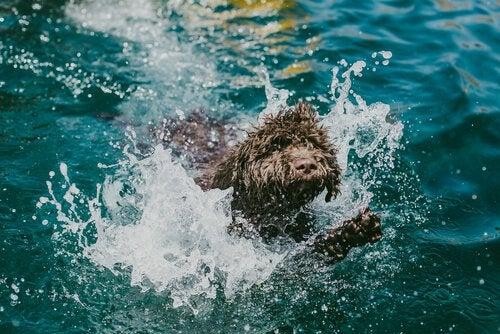 Un chien d'eau espagnol nage
